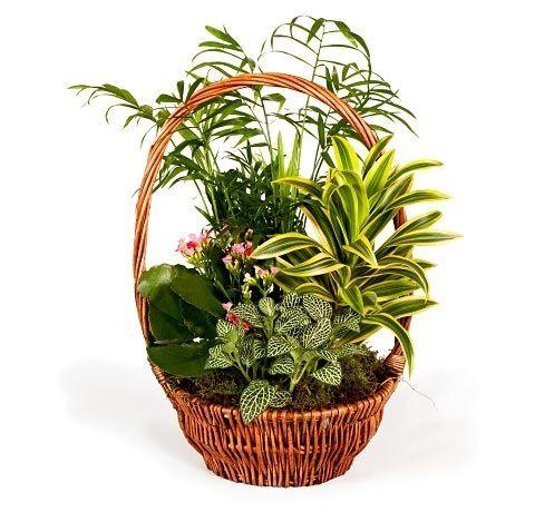 planta nervus